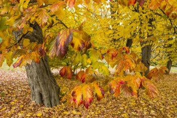 Fall Trees | Fantastic Fall Trees | Yard for Fall | DIY Yard for Fall | Get the Perfect Yard for Fall | Fiery Fall Trees