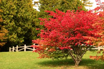 Fall Colored Shrubs | Shrubs for Fall | Best Shrubs for Fall | DIY Fall Yard | Tips and Tricks for Your Yard in Fall | Fall | Shrubs