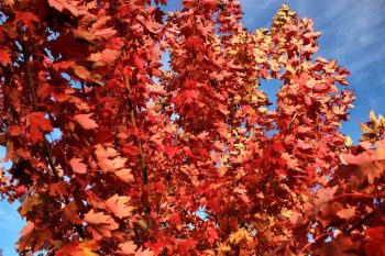 Fall Trees | Fantastic Fall Trees | Yard for Fall | DIY Yard for Fall | Get the Perfect Yard for Fall | Fiery Fall Trees