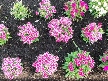 Dianthus | Dianthus Flowers | Pretty Pinks | Garden | Flower Garden | Dianthus Pinks | Plant Encyclopedia: Dianthus | Tips and Tricks for Dianthus