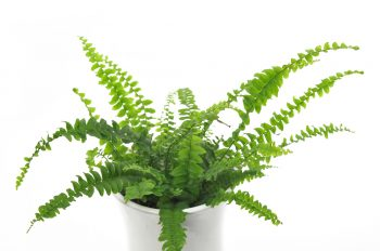 Ferns | Plant Encyclopedia: Ferns | Fern Care Tips and Tricks | Learn How to Care for Ferns | Care for Ferns | Ferns Tips and Tricks