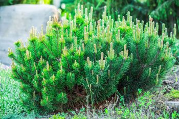 Mugo Pine | Plant Encyclopedia: Mugo Pine | Mugo Pine Hacks | How to Grow Mugo Pine | Tips and Tricks for Growing Mugo Pine | Mugo Pine Care Tips