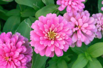 Container Gardening   Pretty in Pink Flower Gardens   Pretty in Pink Flowers   Container Gardening Tips and Tricks   Container Gardens   Container Gardens: Flowers