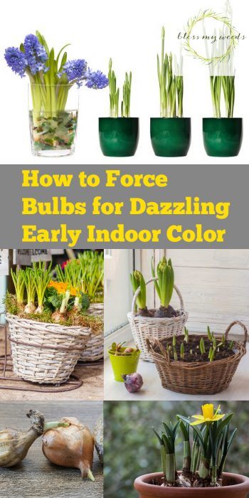 Force Bulbs   How to Force Bulbs   Force Bulbs for the Winter   Winter Bulbs   Winter Bulb Tips and Tricks   Force Bulbs Tips and Tricks