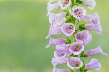 Foxglove | Foxglove Tips and Tricks | Foxglove Care | How to Grow Foxglove | Plant Encyclopedia | Plant Encyclopedia: Foxglove