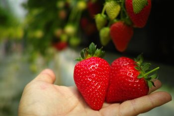 Learn How to Irrigate Strawberries | Irrigate Strawberries | Tips and Tricks to Irrigate Strawberries | Strawberries | Strawberry Care | Strawberry Care Tips and Tricks