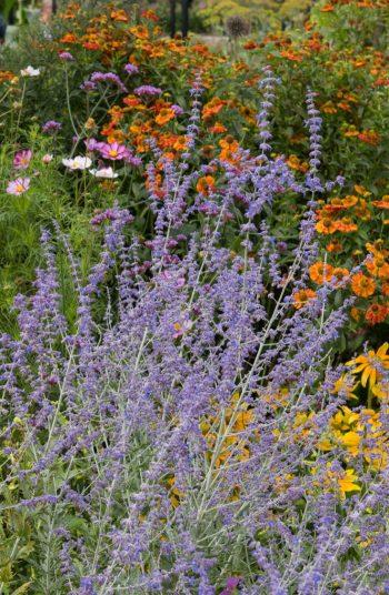 russian sage | plant encyclopedia | russian sage plant encyclopedia | plant | sage | flowers | plants | flower | garden | flower bed | sun | perennials
