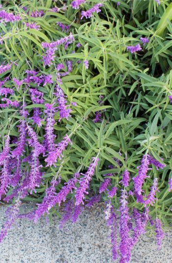 russian sage | plant encyclopedia | russian sage plant encyclopedia | plant | sage | flowers | plants | flower | garden | flower bed | sun | perennials