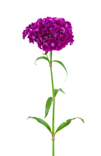 flowers | plant encyclopedia | sweet william | color | colorful flowers