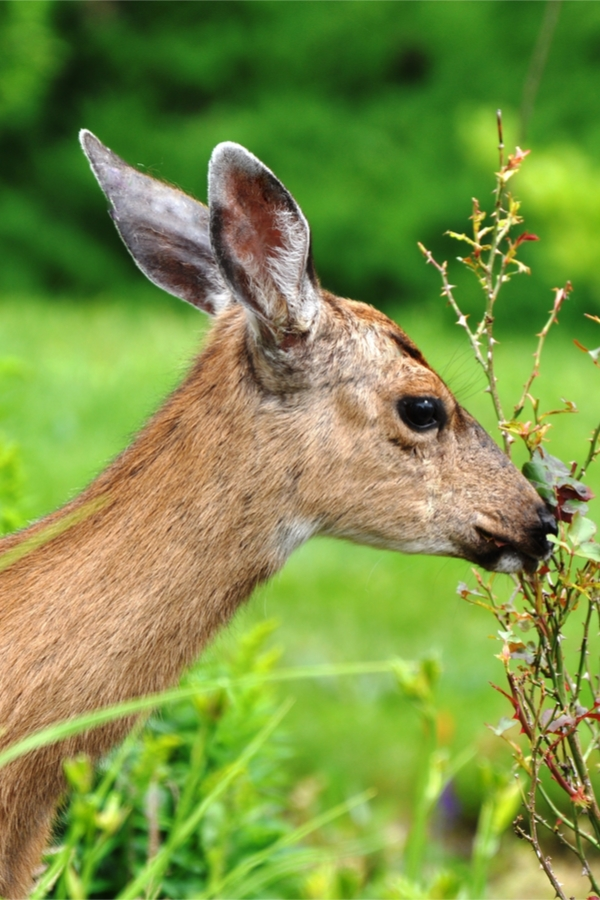 deer | plants that deer eat | shrubs that deer eat | plants and shrubs that deer eat | mountains | garden | plants | shrubs | food | deer food