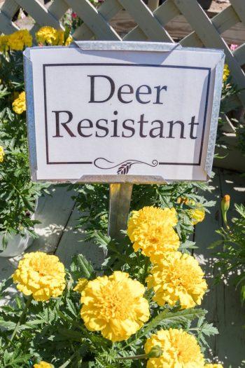 deer resistant bulbs | deer | bulbs | flowers | plants | deer resistant | mountains