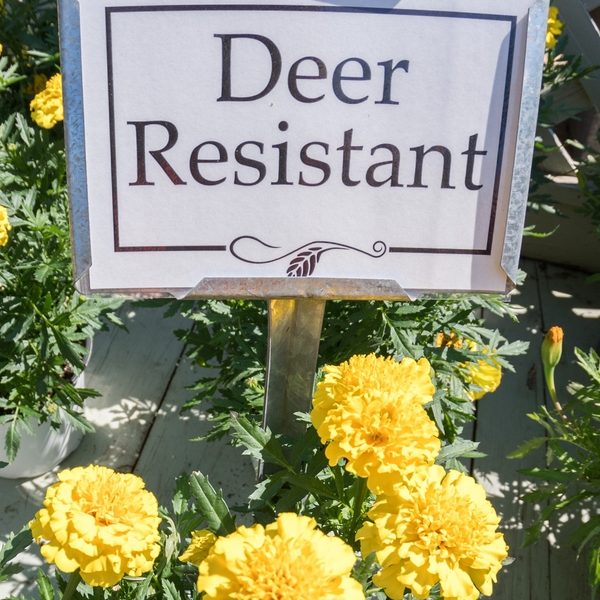 Deer Resistant Bulbs For Spring Planting Bless My Weeds
