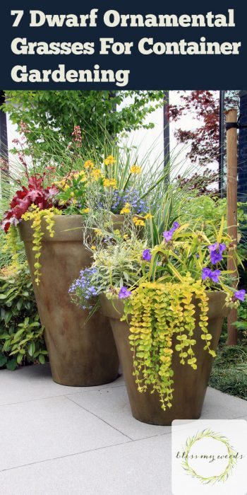 container gardening | dwarf ornamental grasses | garden | gardening | grass | grasses | ornamental grass | ornamental grasses