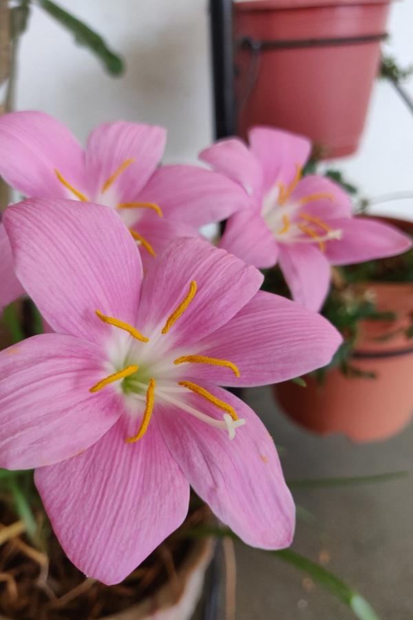 Pink Perennials | my favorite flowers | perennials | pink flowers | flowers | perennial flowers | garden | flower ideas | garden ideas