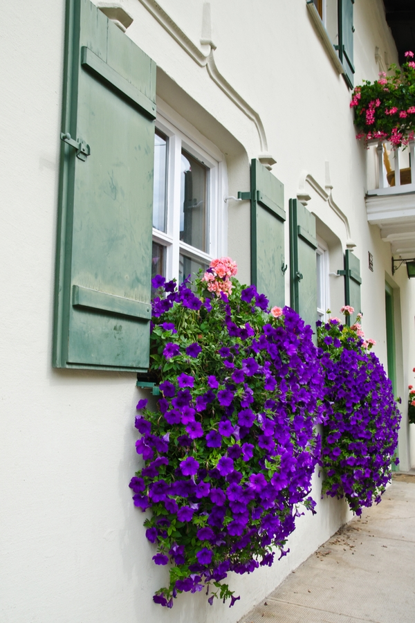 trailing plants for window boxes | flowers | window boxes | flowers for window boxes | hanging flowers | trialing plants | trailing flowers