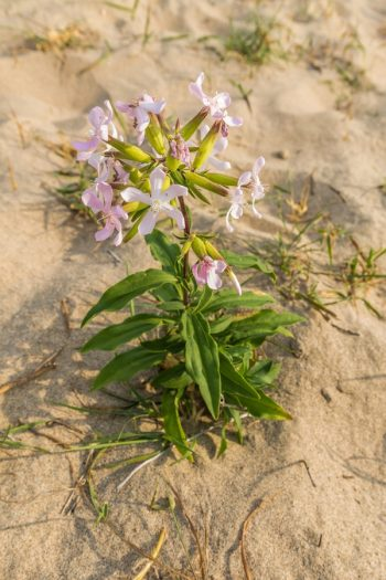 Soapwort | plant encyclopedia | saponaria officinalis | plants | plant guide | flowers | wildflower | perennial