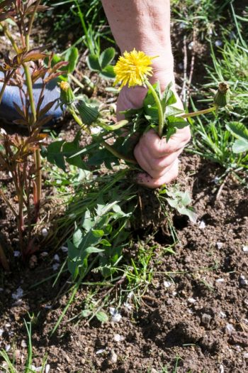 What Weeds Don't Want You To Know   controlling weeds   secrets of weeds   tips and tricks   weeds   gardening