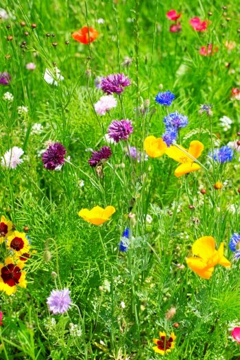 Plant Wildflowers | when to plant wildflowers | wildflowers | garden | flowers | gardening | wildflower garden