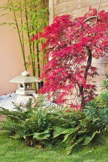 Japanese Maple | japanese maple plant encyclopedia | plant encyclopedia | maples | maple trees | trees