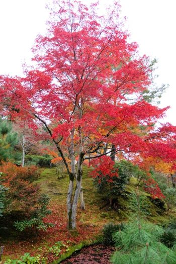 Japanese Maple | japanese maple plant encyclopedia | plant encyclopedia | maples | maple trees | trees