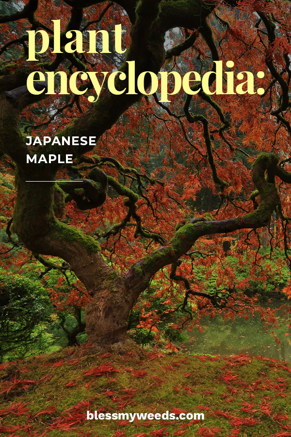 Plant Encyclopedia Japanese Maple Bless My Weeds