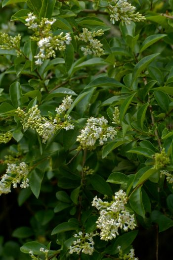 Shrubs Great for Hedges | hedges | shrubs | hedge | landscape | gardening