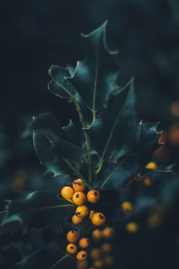 Plants With Colorful Fruits and Berries   fall   plants   shrubs   trees   berries   fruit