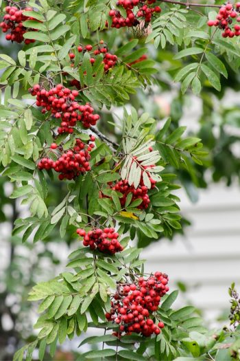 Plants With Colorful Fruits and Berries | fall | plants | shrubs | trees | berries | fruit