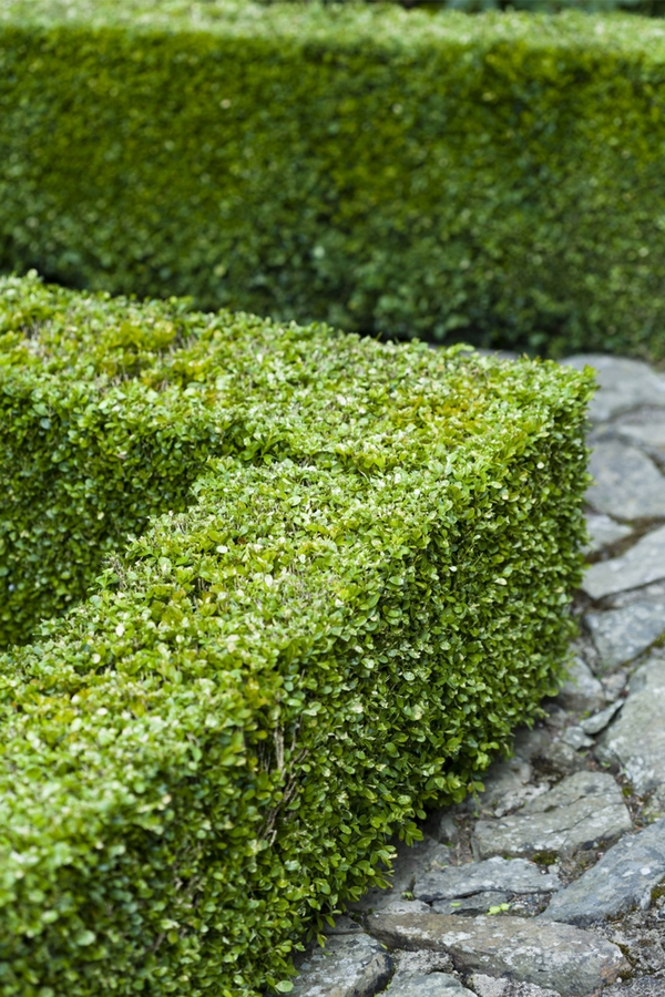 shrubs great for hedges