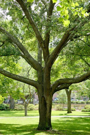 Plants That Thrive Beneath Oak Trees | oak trees | plants | shade loving plants | oak | trees | plant guide