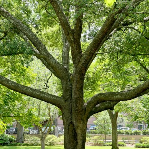 Plants that thrive beneath oaks