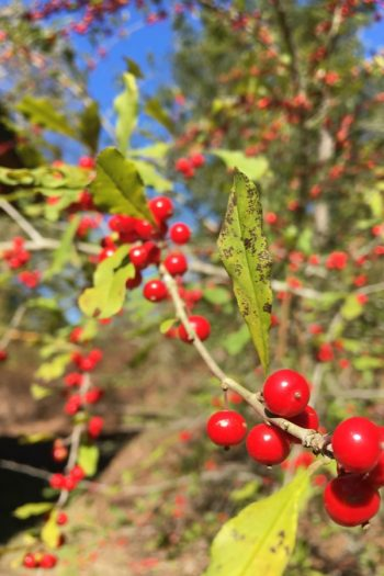 If you're looking to add life to your yard all year long, add these shrubs with fall berries to your garden. They are beautiful!