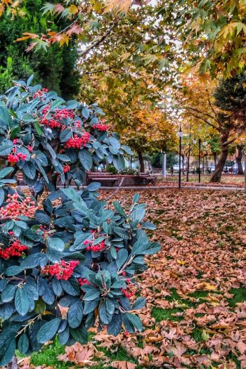 When planning your landscape, make sure to include some of these shrubs with fall berries. They will give life to your yard all year long.