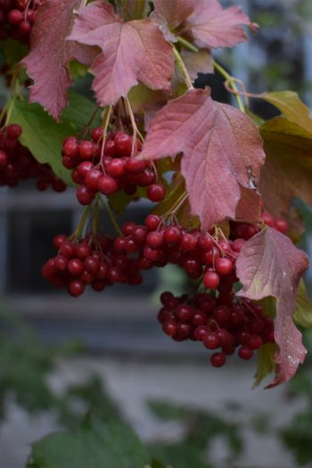 These shrubs with fall berries are beautiful. They are the perfect addition to any yard.