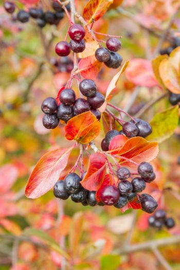 Everyone thinks their garden looks sad when everything starts dying in the fall. These shrubs with fall berries will keep life in your garden.