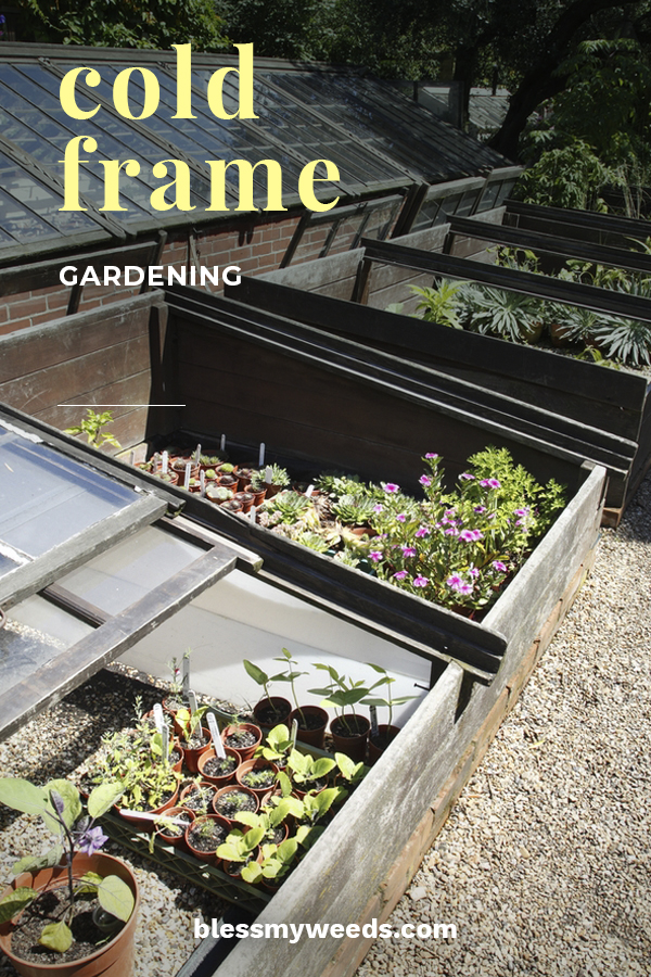 "You may have heard of the term ""Cold Frame Gardening"" but wondered what in the heck it means. That's understandable. Bless My Weeds can help you get a grasp on this gardening term and others with our series of articles based on gardening terms. If you think gardening is impossible after summer, read on to learn how cold frame gardening could change your mind. #gardeningterms #coldframgardening #gardeningtips"