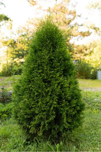 When you want more privacy at home, it helps to know that there are fast growing privacy plants. Privacy plants provide a green screen that blocks unwanted views of you or your property, without being harsh. One of the best fast growing privacy plants is a shrub classed arborvitae.