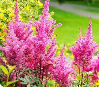 Astilbe/colorful perennials