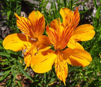 Orange Peruvian lily/ colorful perennials