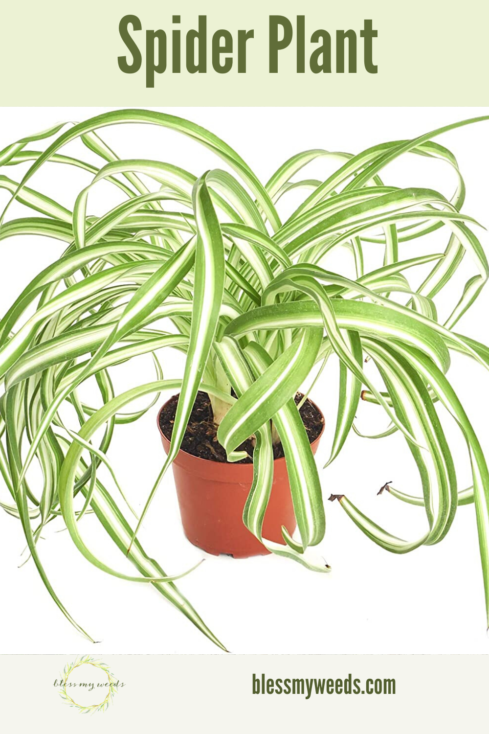 With a name like spider plant, you might think this plant is kind of creepy. But, it actually isn't anything you need to be afraid of. The spider plant is a great choice for a house plant. Read the post to learn all about this plant and how you can take care of it. #houseplants #indoorplants #plantguide #blessmyweedsblog