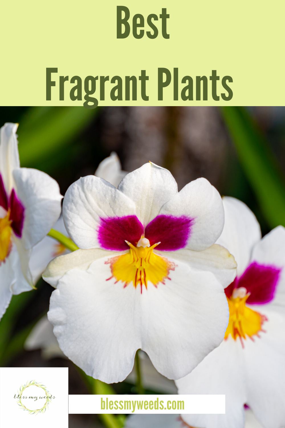 Some plants are not only beautiful, they also happen to smell heavenly. Whether indoors or out in your yard, these fragrant plants will not disappoint. Read on to learn more about them and where you could put them. #Fragrantplants #houseplants #gardeningtips #lowmaintenanceperennials #blessmyweedsblog