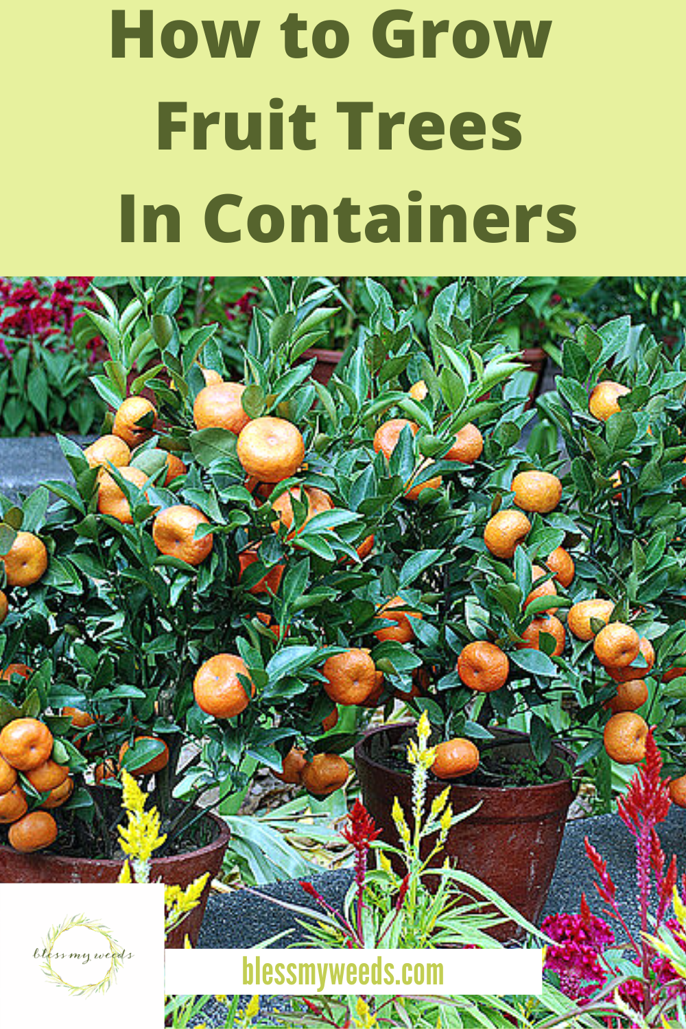 You don't need an orchard to grow fruit trees, but that would be great, too. If space is limited containers work as well. Pick your favorite container that has plenty of drainage ability, select your tree, read this post and then enjoy the fruits of your labor. #howtogrowfruittreesincontainers #containergardening #blessmyweedsblog
