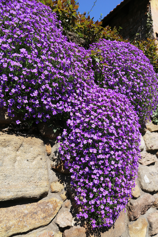 A rock wall is tricky, but if you know the perfect rock wall landscaping plants, you can dress it up right! Rock Cress is a perennial that is easy to grow.