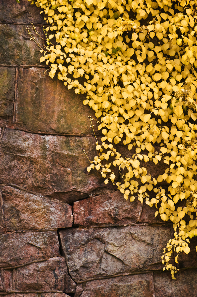 A rock wall is tricky, but if you know the perfect rock wall landscaping plants, you can dress it up right! Climbing Hydrangea is a sturdy plan that loves to climb and cling.
