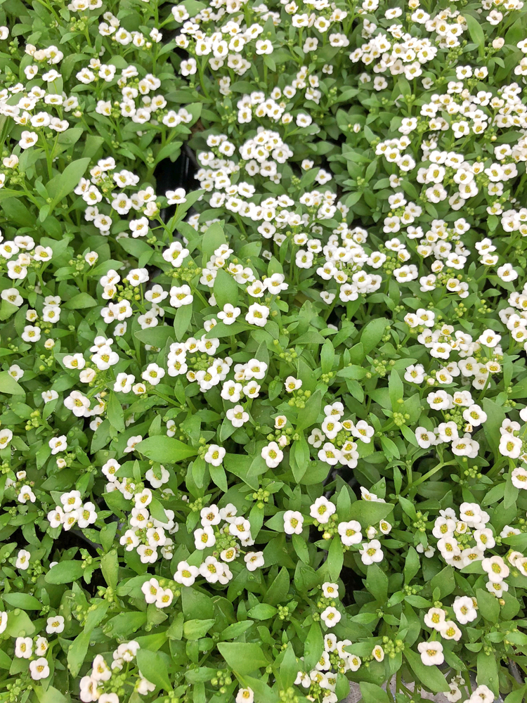 A rock wall is tricky, but if you know the perfect rock wall landscaping plants, you can dress it up right! Alyssum really stands out against the subdued tones of rock.
