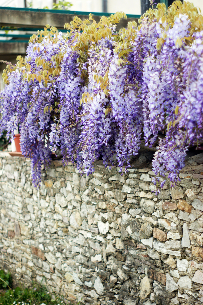 A rock wall is tricky, but if you know the perfect rock wall landscaping plants, you can dress it up right! Wisteria adds so much beauty to any rock wall.