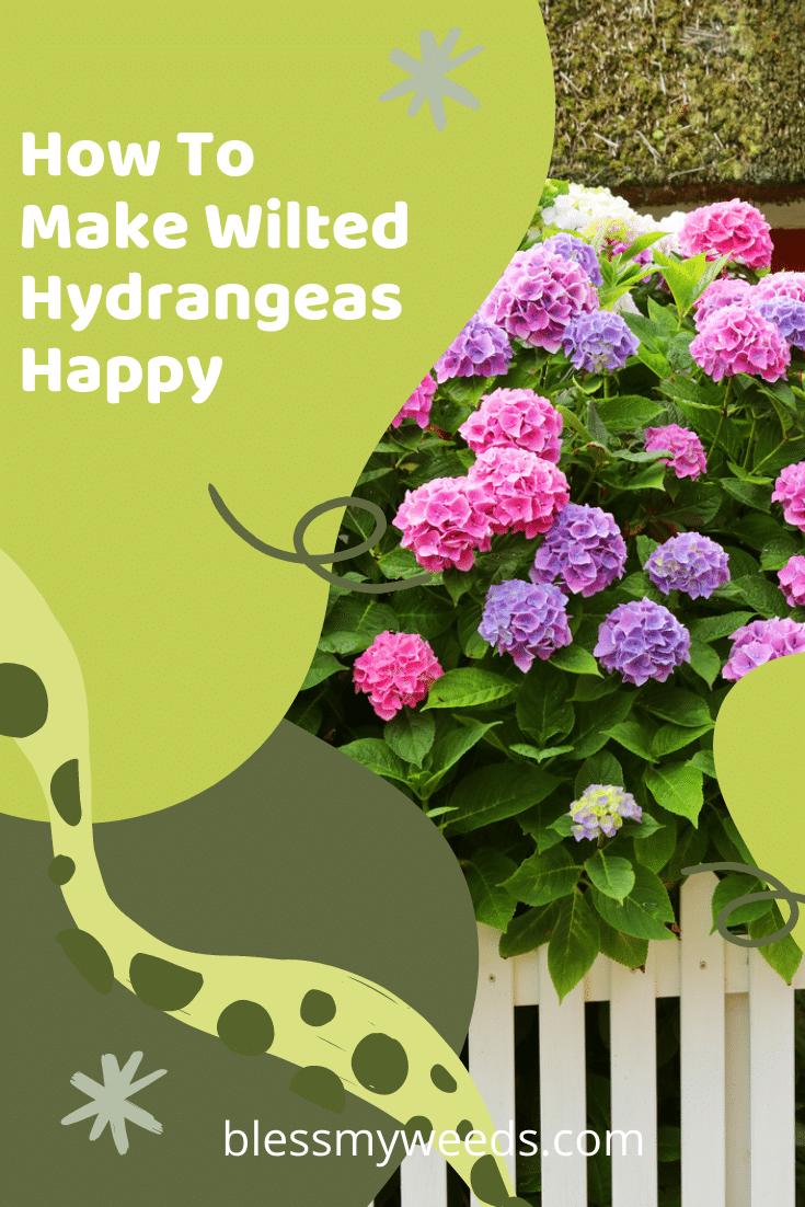 Everybody loves hydrangeas until they start to wilt. Then nobody is happy. Learn tips and tricks to revitalize wilted hydrangeas. Easy tips that anybody can do. Read the post to learn more about these beautiful flowers and how you can keep them happy looking. #gardens #blessmyweedsblog #flowers #hydrangeas