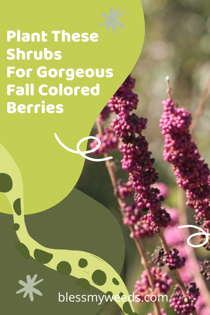 Want Shrubs that pack a punch of color with berries? Blessmyweeds.com is the place to be. Keep reading for shrubs with fall colored berries. Sign up for the weekly newsletter for ideas like this anything outdoor living. #shrubs #gardens #landscape #blessmyweedsblog