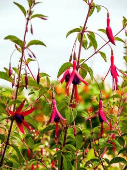 Clusters of fuchsia flowers growing in a garden
