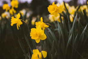 Beautiful daffodils growing in a garden